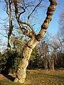 Populus nigra sl2.jpg
