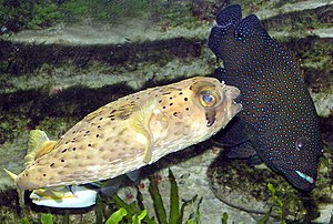 Tetraodontiformes - Long-spine porcupinefish, Diodon holocanthus: On the right is a blue-spotted grouper, Cephalopholis argus