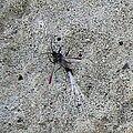 Porphyrophora hamelii, male.jpg