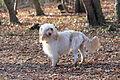 Portugiesischer Wasserhund weiß.JPG