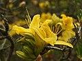 Průhonice, zámecký park, rododendron (žlutý).JPG