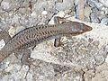PrassonesiWall Lizard (Podarcis levendis).jpg