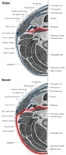 Prevertebral fascia