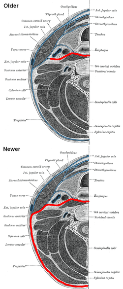 Prevertebral Fascia Wikipedia
