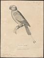 Prioniturus platurus - 1700-1880 - Print - Iconographia Zoologica - Special Collections University of Amsterdam - UBA01 IZ18500031.tif
