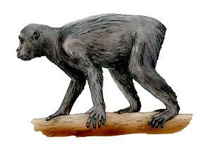 Proconsul (primate) - Restoration