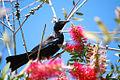 Prosthemadera novaeseelandiae -New Zealand-8.jpg