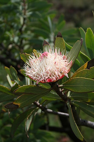 Protea - Protea caffra, the Common protea