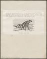 Proteles lalandii - 1872 - Print - Iconographia Zoologica - Special Collections University of Amsterdam - UBA01 IZ22200109.tif