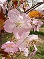 Prunus jamasakura 'Kenrokuen-Kumagai' 01.jpg