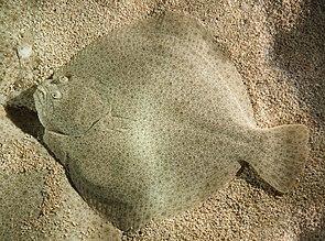 Steinbutt (Scophthalmus maximus)