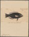 Pseudoscarus niger - 1835 - Print - Iconographia Zoologica - Special Collections University of Amsterdam - UBA01 IZ14000045.tif