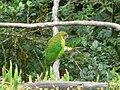 Psittacella brehmii -Kumul Lodge, Papua New Guinea -male-8.jpg
