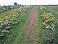 Pumpkin Patch, Brocks Bushes - geograph.org.uk - 1490526.jpg