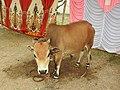 Punganur cattle-2-praba pet-salem-India.jpg