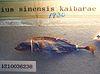 Pungitius kaibarae by OpenCage