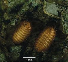 Pupae of Japanagromyza inferna Spencer in gall of Centrosema virginianum L. - ZooKeys-374-045-g005