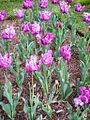 Purple tulips at the Netherlands Carillon, Arlington, Virginia.jpg