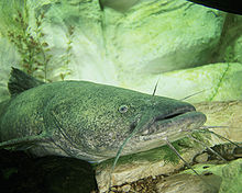Pylodictis olivaris.jpg blue catfish Flathead Catfish – (Pylodictis olivaris) 220px Pylodictis olivaris