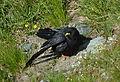 Pyrrhocorax graculusAlpine ChoughAlpendohle 01.JPG