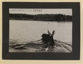 Quartering view of cow moose swimming (HS85-10-28263) original.tif