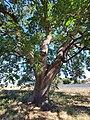 Quercia vallonea campi salentina, dettaglio del tronco.jpg
