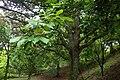 Quercus aliena kz02.jpg