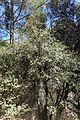 Quercus alnifolia kz4.jpg