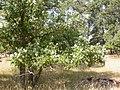 Quercus macrocarpa (5107488125).jpg
