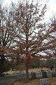 Quercus oglethorpensis (23889210170).jpg