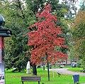 Quercus palustris autumn color, Pionirski park, Belgrade.jpg