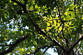 Quercus serrata (22530582432).jpg