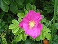 Róża japońska.JPG