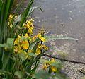 RNR Gorges de la Loire, Iris jaune.jpg