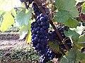 Raisins à Givry 1.jpg