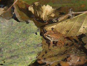 Rana-iberica-La-Vera-20071111 7.jpg