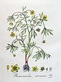 Ranunculus arvensis — Flora Batava — Volume v4.jpg