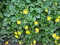 Ranunculus ficaria Aarberg1.JPG
