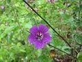 Rare flower at valley of flowers 1.jpg