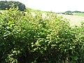 Raspberries, Tantah - geograph.org.uk - 1206382.jpg