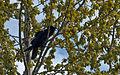 Raven in Poplar (5751642323) (2).jpg