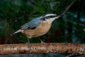 Red-breasted Nuthatch 3.jpg