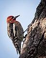 Red-breasted Sapsucker (38104885591).jpg