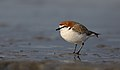 Red-capped Plover (Charadrius ruficapillus) (40922225950).jpg