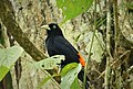 Red-rumped Cacique. Cacicus haemorrhous - Flickr - gailhampshire.jpg