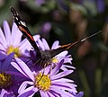 Red Admiral 2 (3915655865).jpg