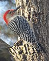 Red Bellied Woodpecker in Tree (4279048503).jpg