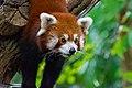 Red Panda (37312222574).jpg