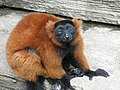 Red Ruffed Lemur 002.jpg