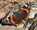 Red admiral. Vanessa atalanta. January - Flickr - gailhampshire.jpg